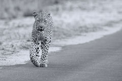 Beautiful large female leopard walking in nature hunting food Royalty Free Stock Image