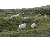 Beautiful large flock of sheep on the meadow belt Royalty Free Stock Photos