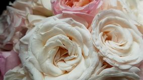 Beautiful large flowers of light roses in a gift bouquet. A romantic gift to a loved one. Valentine`s day, birthday, holiday
