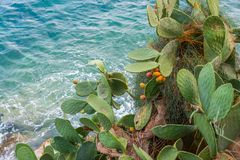 Fruity Cactus. Beautiful, large and full of life cactus in all its beauty in the Mediterranean blue clear sea water background royalty free stock photo