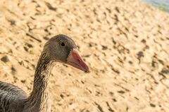A beautiful and large gray goose on a farm and in an open park, walks along the sand and pecks food. A domestic and kind bird, wit stock photos