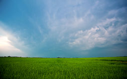 Beautiful, large green field Winter cerea against a blue, cloudy sky. Stock Photo
