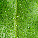 Beautiful large green leaf with drops of water Stock Photo