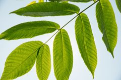 Beautiful green leaves of a manchurian nut in sunlight against a. Beautiful large green leaves of a manchurian nut in sunlight against a blue sky Royalty Free Stock Photo