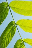 Beautiful green leaves of a manchurian nut in sunlight against a. Beautiful large green leaves of a manchurian nut in sunlight against a blue sky Stock Photography