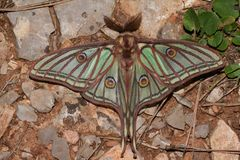 Beautiful large green moth in the wild stock photos