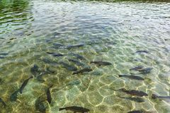 Beautiful large grey rainbow trout swim in the clear water. Breeding of freshwater fish. spotted fish on the background of a. Spotted bottom. Mimicry stock photography