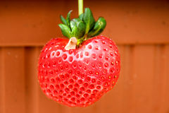 Beautiful, large, hanging strawberry royalty free stock photos