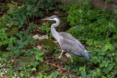 A beautiful large heron bird in green surroundings royalty free stock photography