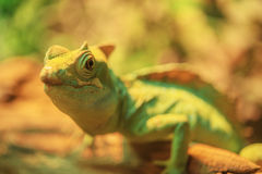 Beautiful large iguana Stock Images