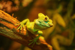 Beautiful large iguana Stock Photography