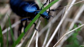 Beautiful large iridescent beetle stock footage