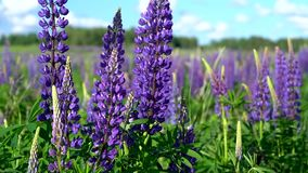 Beautiful large lilac forest flowers lupine with green leaves swaying in the wind in the meadow on a Sunny day against. Beautiful large lilac forest flowers stock footage
