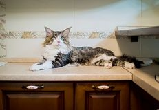 Beautiful large maine coon cat lies on the kitchen table stock photography