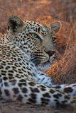 Beautiful large male leopard resting in nature in gathering dark Stock Photos