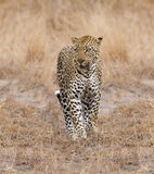 Beautiful large male leopard walking in nature Stock Image