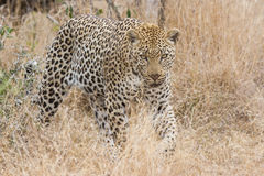 Beautiful large male leopard walking in nature Stock Photos