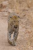 Beautiful large male leopard walking in nature Stock Photography