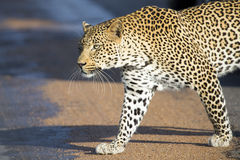 Beautiful large male leopard walking in nature hunting Stock Image