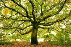 Beautiful Large oak tree, London, England. Beautiful Large oak tree with fallen leaves, London, England royalty free stock image