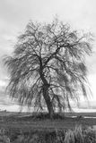Beautiful large old willow tree.  stock photo