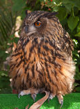 Beautiful large owl in captivity Royalty Free Stock Photo