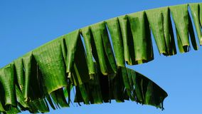 Beautiful large palm leaves. Against a bright blue cloudless sky on a summer sunny day, filmed using zooming and moving the camera stock video