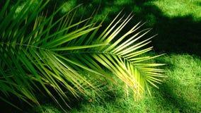 Beautiful large palm leaves