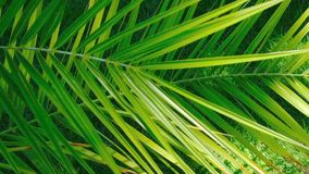 Beautiful large palm leaves. On a background of green grass of a well-groomed lawn on a summer sunny day, filmed using zooming and moving the camera stock video