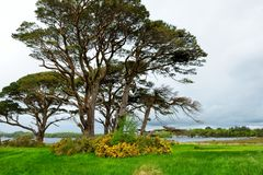 Beautiful large pine tree and blossoming gorse bushes on a banks on Muckross Lake, located in Killarney National Park, County Kerr. Beautiful large pine tree and stock image