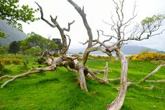 Beautiful large pine tree and blossoming gorse bushes on a banks on Muckross Lake, located in Killarney National Park, County Kerr. Beautiful large pine tree and royalty free stock photo