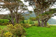 Beautiful large pine tree and blossoming gorse bushes on a banks on Muckross Lake, located in Killarney National Park, County Kerr. Beautiful large pine tree and royalty free stock image