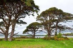 Beautiful large pine tree and blossoming gorse bushes on a banks on Muckross Lake, located in Killarney National Park, County Kerr. Beautiful large pine tree and royalty free stock photography