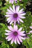 Beautiful large pink or purple flowers stock photo
