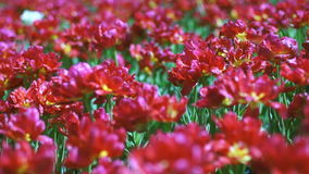 Beautiful large red Dutch tulips with dof. Full hd video footage 1080p stock video