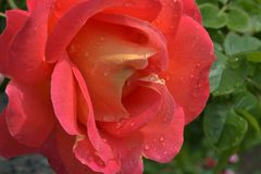 Beautiful large rose flower of delicate coral color with a yellow middle. With raindrops with green leaves stock photography