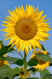 Beautiful large sunflower Stock Photos