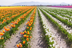 Beautiful Large Tulip Field Stock Photography