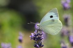 A pretty Large White Butterfly Pieris brassicae nectaring on a pretty lavender flower. stock image