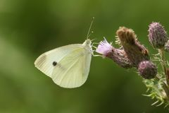 A pretty Large White Butterfly Pieris brassicae nectaring on a thistle flower. A beautiful Large White Butterfly Pieris brassicae nectaring on a thistle flower royalty free stock photos