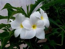 Beautiful large white flowers stock photo