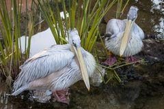 Beautiful large white pelicans swim in a small pond.  stock photo