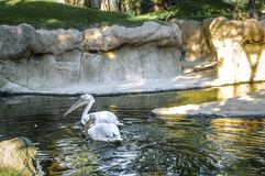 Beautiful large white pelicans swim in a small pond.  royalty free stock photography