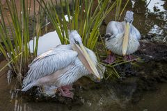 Beautiful large white pelicans swim in a small pond.  royalty free stock images