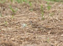 Beautiful Lark Sparrow with bold markings Royalty Free Stock Photos