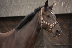 Beautiful latvian breed black horse portrait Royalty Free Stock Images