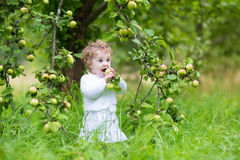 Beautiful laughing baby girl picking apples in garden Royalty Free Stock Images