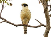 Beautiful laughing falcon in the Costa Rica jungle waiting for it`s pray Royalty Free Stock Image