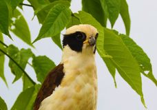 Beautiful laughing falcon in the Costa Rica jungle waiting for it`s pray. Yellow hawk Stock Image