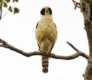 Beautiful laughing falcon in the Costa Rica jungle waiting for it`s pray Stock Photo